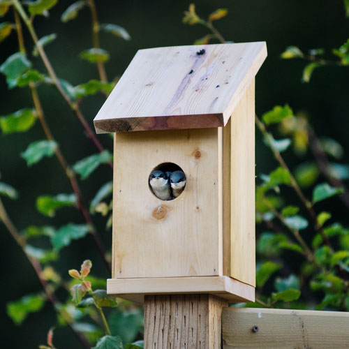 Two small blue birds in bird house.